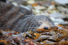 Sleeping wild seal Stock Photos