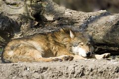 The sleeping wolf Stock Photos