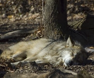 Sleeping Wolf. A wolf dozing in the hot sun Royalty Free Stock Photo