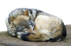 Sleeping wolf. Sleeping grey wolf in the zoo Royalty Free Stock Image