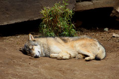 Sleeping wolf. An adult wolf lays in the floor sleeping, wild canine cannis lupus resting in his habitat Stock Image