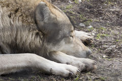 Sleeping wolf Royalty Free Stock Photography