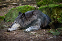 Sleeping Wolf Stock Images