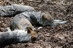 Sleeping wolf pack Royalty Free Stock Photos