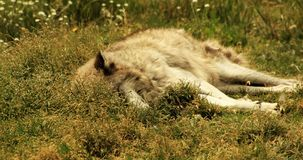 Sleeping Wolves (Part 2). A beautiful gray wolf sleeping in the afternoon sun Royalty Free Stock Images