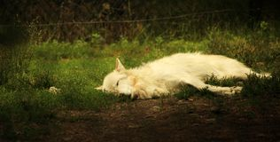 Sleeping Wolves (Part 1). A beautiful white wolf sleeping in the afternoon sun Royalty Free Stock Photography