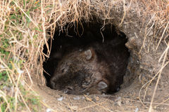 Sleeping Wombat royalty free stock images