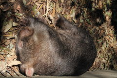 Sleeping Wombat. Wombat having an afternoon snooze in the sunshine Royalty Free Stock Images