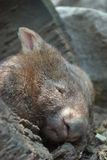 Sleeping wombat. Portrait of cute wombat sleeping in a hollow log Stock Images