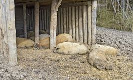 Sleeping woolly pigs. Of the breed Mangalitza at a shelter Stock Photography
