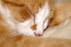 Sleeping Yellow Cat. Large mature orange or yellow male cat with white on face sleeping soundly Royalty Free Stock Image
