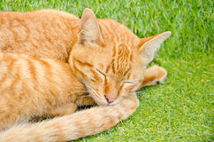 Sleeping yellow cat Stock Photography