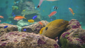 Sleeping Yellow Eel. stock footage
