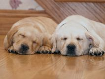 Sleeping Yellow Lab puppies. Two Yellow Labrador puppies sleeping after meal. Brother and sister Stock Images
