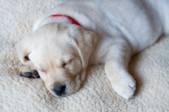 Sleeping Yellow Labrador Puppy Royalty Free Stock Photo