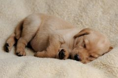 Sleeping Yellow Labrador Puppy on Blanket Royalty Free Stock Photo