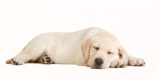 Sleeping yellow labrador puppy Stock Images