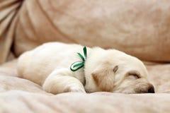 Sleeping yellow labrador puppy Stock Image
