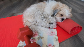 Sleeping on yoga mat. A dog sleeping on yoga mat royalty free stock photography