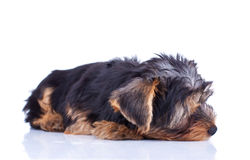 Sleeping yorkshire puppy Royalty Free Stock Photography