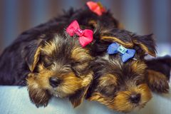 Sleeping Yorkshire terrier dog puppies Royalty Free Stock Photos