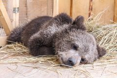 Sleeping young brown bear. royalty free stock photography