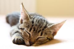 Sleeping young cat Royalty Free Stock Image