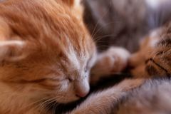 Sleeping young cat Stock Photography