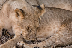Sleeping young lion Royalty Free Stock Image
