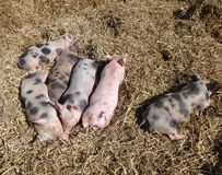 Sleeping young pigs Stock Photography