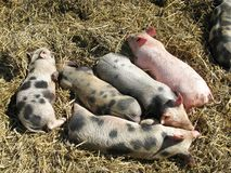 Sleeping young pigs in the straw Stock Photo