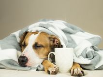 Sleeping young pitbull dog in bed covered in throw blanket with steaming cup of hot tea or coffee Stock Photo