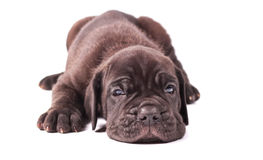 Sleeping young puppie italian mastiff cane corso (1 month) lying. On white background Stock Photo