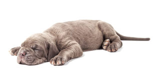 Sleeping young puppie italian mastiff cane corso (1 month). On white background Royalty Free Stock Image
