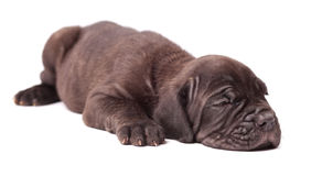 Sleeping young puppie italian mastiff cane corso (1 month). On white background Stock Images