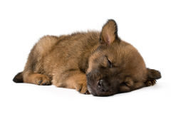 Sleeping young puppy Stock Image