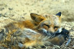 Sleeping young red fox Royalty Free Stock Image