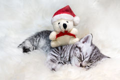 Sleeping young silver tabby cat with christmas bear Stock Image