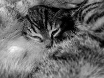 Sleeping young tiger cat Stock Photo