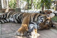 Sleeping young tiger Royalty Free Stock Photography