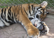 Sleeping young tiger Stock Images