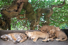 Sleeping  young tigers Royalty Free Stock Image