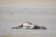 Sleeping zebra Royalty Free Stock Photos