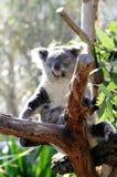 Sleepng koala Fotografia Royalty Free