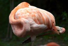 Sleepnig flamingo Stock Photography