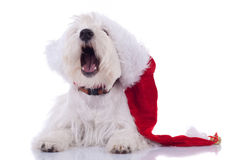 Sleeppy westie wearing santa cap Royalty Free Stock Photos