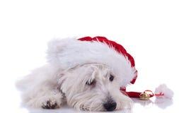 Sleeppy westie wearing santa cap Stock Image