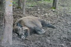 Sleeps. Wild boar in reservation, Poland Royalty Free Stock Photo