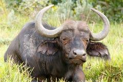 Sleeptime - αφρικανικό Buffalo Syncerus caffer Στοκ εικόνες με δικαίωμα ελεύθερης χρήσης