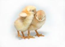 Sleepy. Two sleepy chickens on white background Stock Image